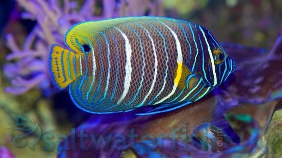 Blueface Angelfish Saltwater Fish Angelfish Large Angel Fish Fish Fish Pet