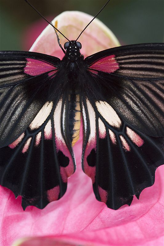 Butterfly - Photo by Richard Verdegaal... could so see this worked into a tat on a back or sholder