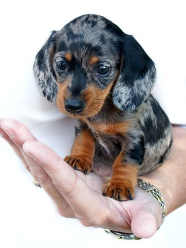 Emma-baby dachshund by ~TriggerArtist on deviantART