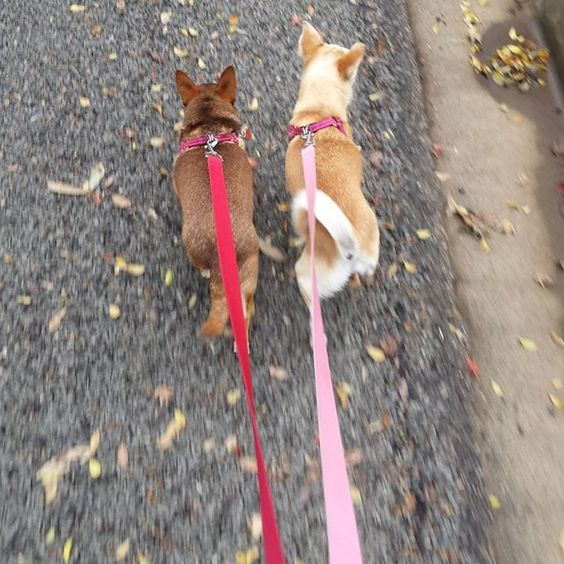 Out for a walk with these two munchkins. . .#judedog #gracedog #chihuahua #sablechihuahua #littledogsrule #woofwednesday #dogsofinstagram #dogwalker #suzspetservices #wagga #waggansw - http://ift.tt/1HQJd81