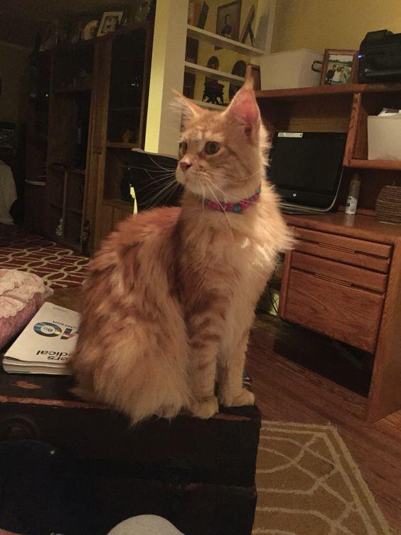 #mainecoon #kitten