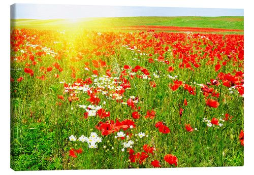 Feld Mit Mohnblumen Und Kamille Mohnblume Feld Mit Blumen Mohn