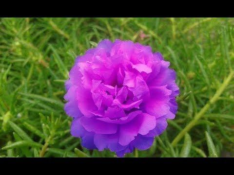 Portulaca Grandiflora The Moss Rose Hd Youtube Portulaca Grandiflora Rose Seeds Rose Cuttings