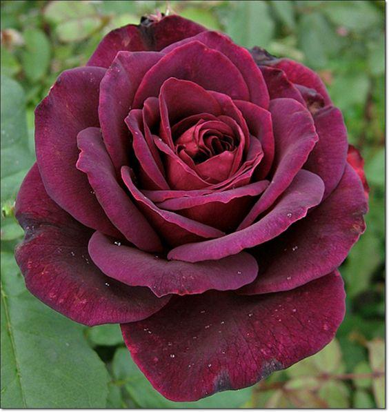 чайно-гибридные роза