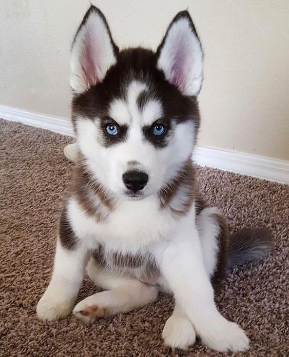 Siberian Husky Puppies For Sale Labrador Puppies For Sale Puppies