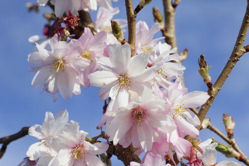 Prunus Autumnalis Rosea Winter Flowering Cherry 4 5ft Tall Semi Double Flowers Spring Blossom Flowers Winter Flowers