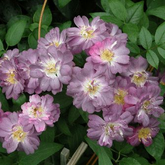 Veilchenblau Rose - a climbing purple-blue rose on nearly thornless stems ... would LOVE this climbing my backyard fence!