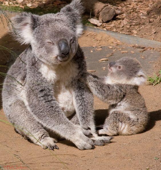 Koala com filhote no Jardim Zoológico de Taronga em Sydney, estado de Nova Gales do Sul, Austrália.  Fotografia: Phil Clarkson.