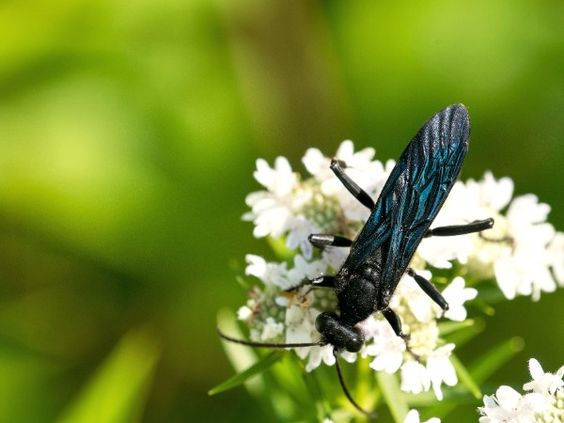 Steel Blue Cricket Hunter Types Of Bees Different Types Of Bees Solitary Bees