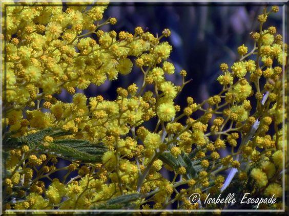 Au mois de Février, Sur les côtes provençales, explose le mimosa...    http://mistoulinetmistouline.eklablog.com/