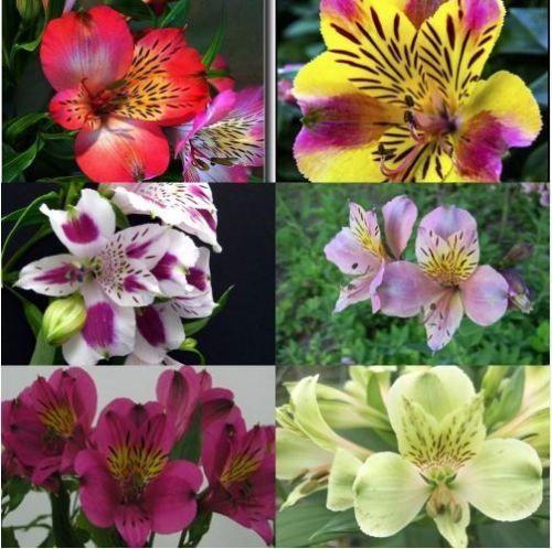 Details Zu 100 Pcs Alstroemeria Lily Flowers Seeds Peruvian Mix Color Lily Bonsai Plants Flori