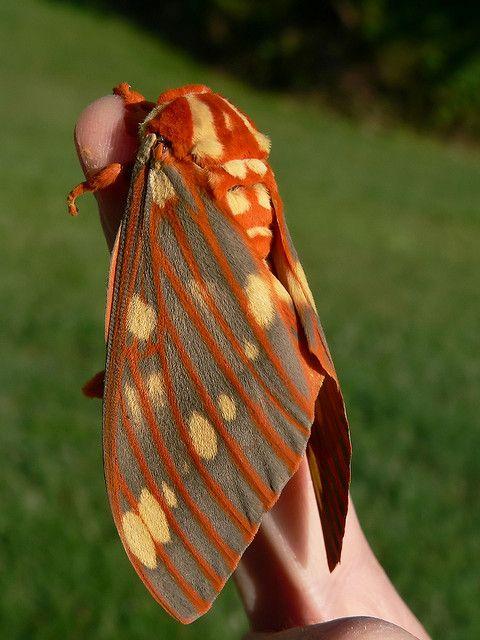 :)    Regal Moth (by rivadock4)