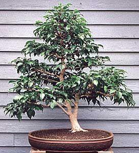 bonsai ficus ficus and bonsai on pinterest. Black Bedroom Furniture Sets. Home Design Ideas