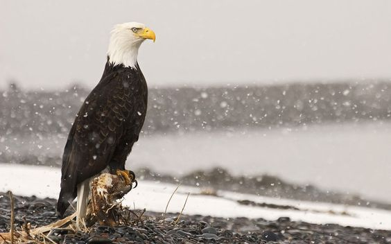 Bald Eagle in Storm