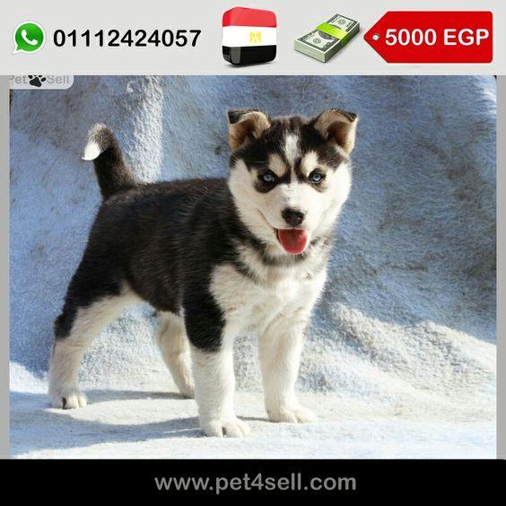 مصر القاهرة هاسكي Female Pet4sell Dogs Animals Husky