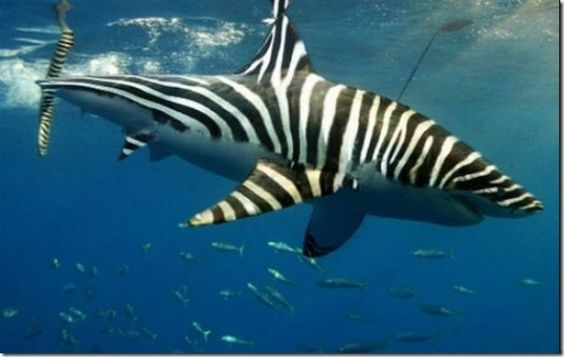 Zebra-shark - OK, yea, this has been photoshopped, but wouldn't it be cool if there were such a thing?! The real zebra shark looks a little bit different.