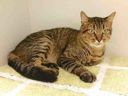 Urgent Kill Shelter Texas City Tx Domestic Shorthair Meet Darby A Cat For Adoption Cats Pets