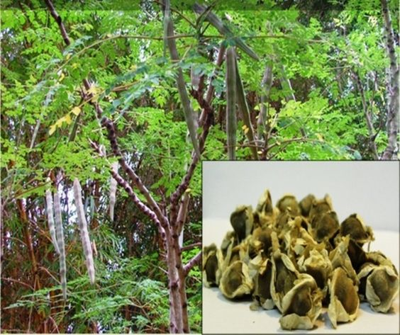 Miracle Tree Seeds, MORINGA, Grow your own Moringa trees for nutritional, medicinal and cosmetic uses for a continuous supply
