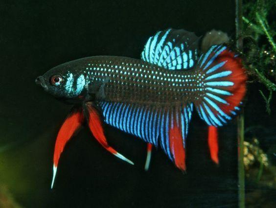 Pinterest the world s catalog of ideas for Wild betta fish
