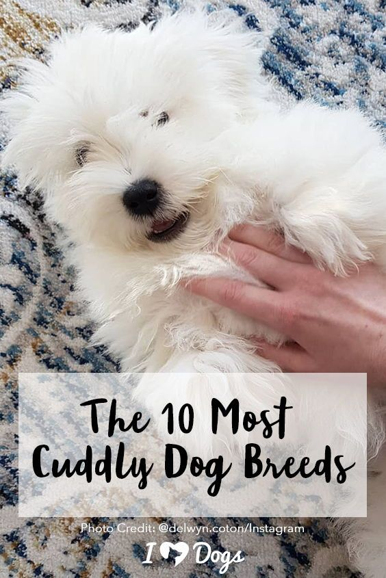The 10 Most Cuddly Dog Breeds Just Waiting To Get Pet And Show Love Dog Cuddles Dog Breeds Dog Breed Photos