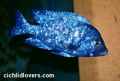 Placidochromis phenochilus/Star sapphire cichlid