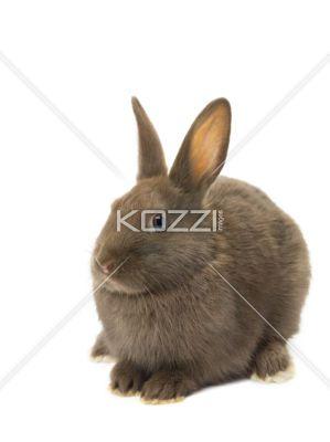 velvet brown fluffy rabbit. - Velvet brown fluffy rabbit sitting on white background.