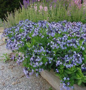 """Amsonia 'Blue Ice' is an easy to grow and hardy herbaceous perennial that gets 15"""" tall and 24"""" wide. Long-blooming light blue flowers show early spring and mounds of dark green leaves turn vibrant yellow in fall. Sun to part shade. Zones 5-9"""