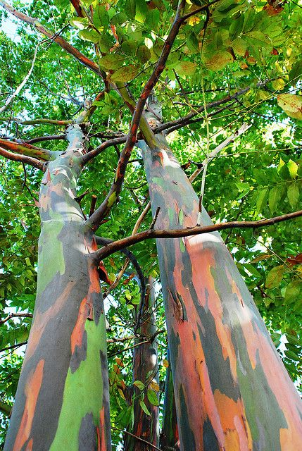 L'arbre arc en ciel, quelles magnifiques couleurs :-)