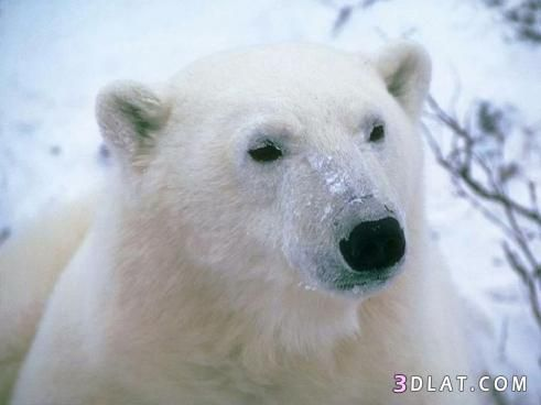 دببة منوعه للدببة 13434213543 Jpg Polar Bear Bear Polar