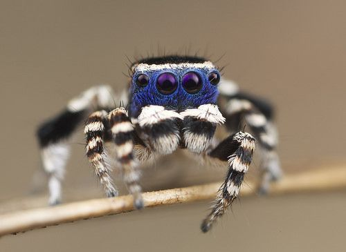 Blueface Maratus (undescribed species) - AWESOME ARACHNIDS