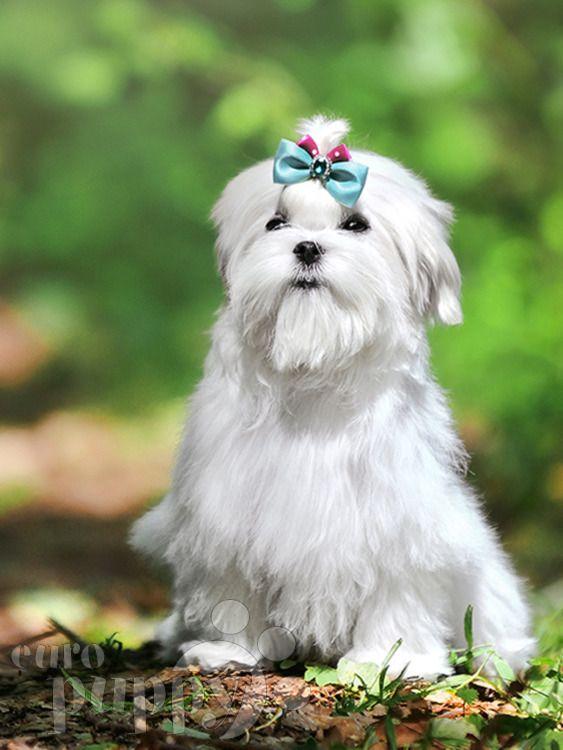 Grand Maltese Puppy For Sale Euro Puppy Maltese Maltese Puppy Maltese Poodle