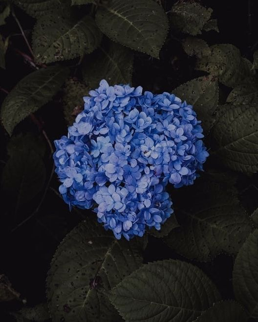 Garden The Organic Way With These Great Tips Blue Hydrangea Flowers Garden Supplies Blue Hydrangea