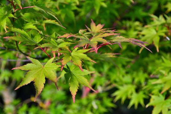 Sweethearts  Sweet Tarts: Coral Bark Maple