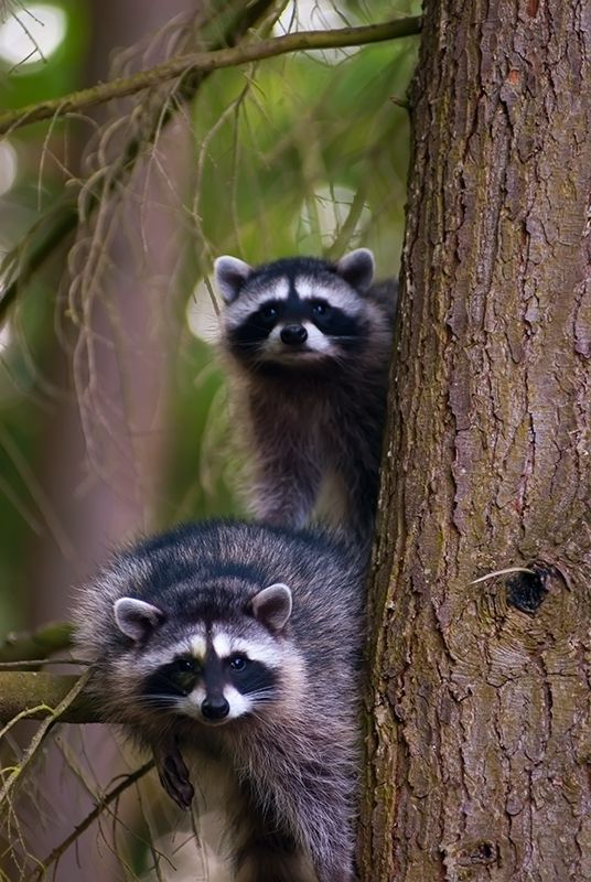 Raccoons - Home alone by caba