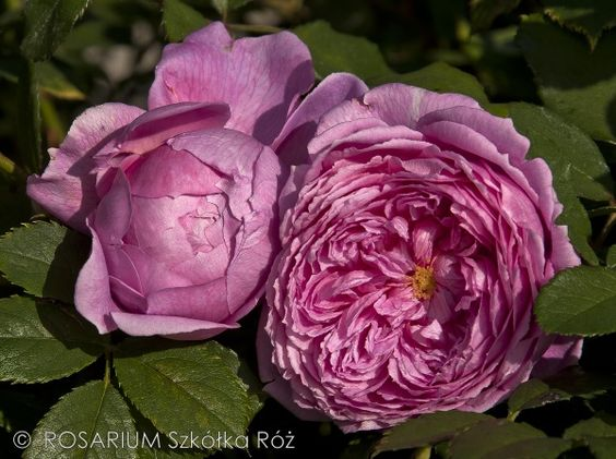 Pin By Tatiana Kirpichenko On Roses Alan Titchmarsh Flowers Rose