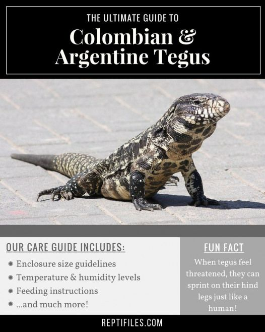 How To Care For Your Pet Colombian Or Argentine Tegu Reptifiles