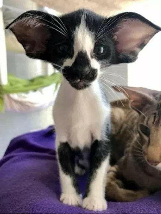 B W Bat Eared Cat Pretty Cats Oriental Shorthair Cats Cute Animals