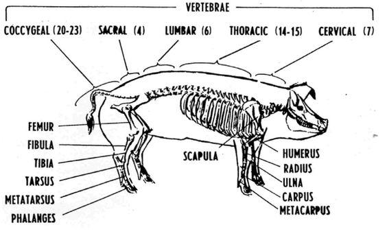 Pig skeleton anatomy