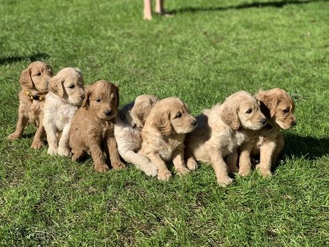 Litter Of 8 Goldendoodle Puppies For Sale In Marble Falls Tx Adn