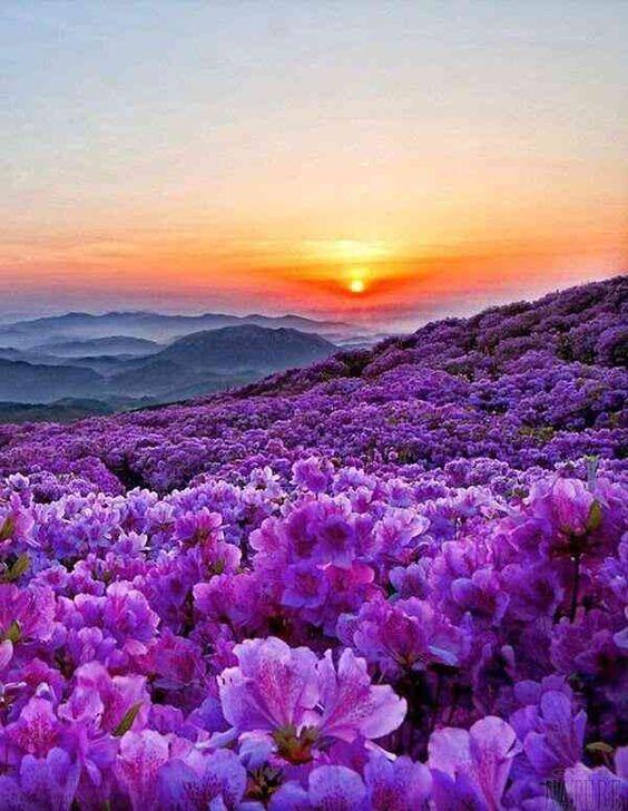 夕陽と紫色の花が綺麗で美しい花畑