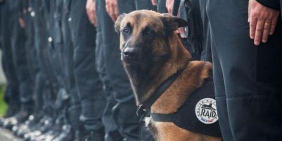 Cane 'testa di cuoio' ucciso nel raid. L'addio della polizia francesce al cane d'assalto di nome Diesel. R.i.p.