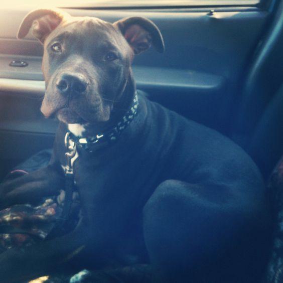 My pit baby, Waylon :)