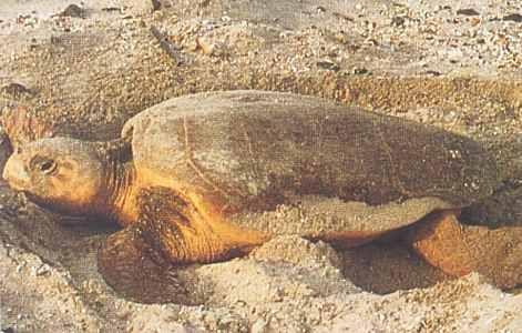 oman turtle watching