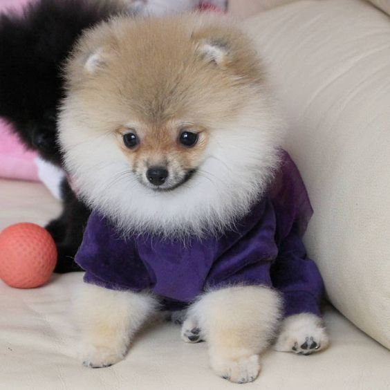 Teacup Pomeranian What S Good And Bad About Em Pomeranian Puppy Cute Dogs Breeds Teacup Pomeranian