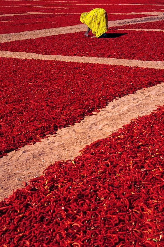 Sea of red chilly... Drying the red chillies in the summer sun so they do not spoil and the red chilly powder remains fresh...