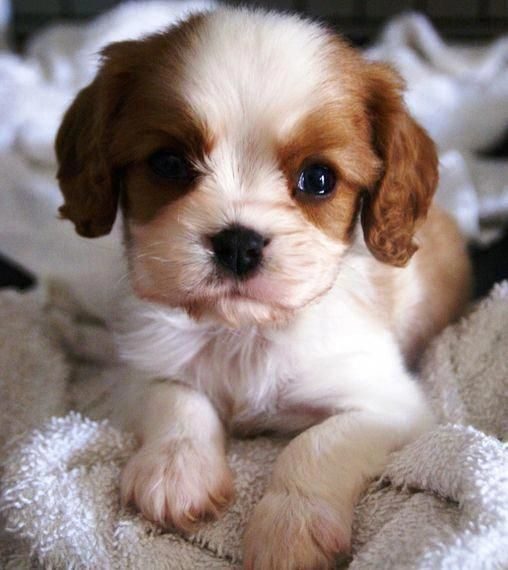 Cavalier King Charles Spaniel Graceful And Affectionate Cavalier King Charles Spaniel Puppies King Charles Puppy