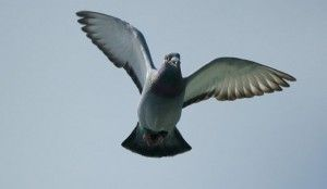 http://www.pigeonracingpigeon.com/pigeon-auction/rebuilding-for-the-next-race/