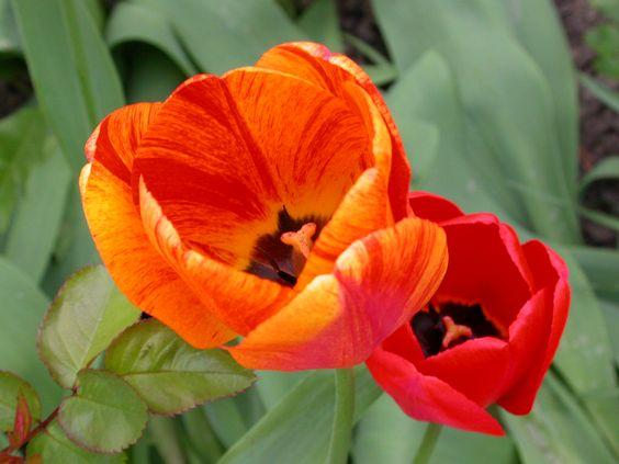 Tulipes, Jenny JSB