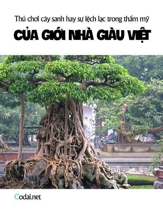 Thú chơi cây sanh hay sự lệch lạc trong thẩm mỹ của giới nhà giàu Việt?