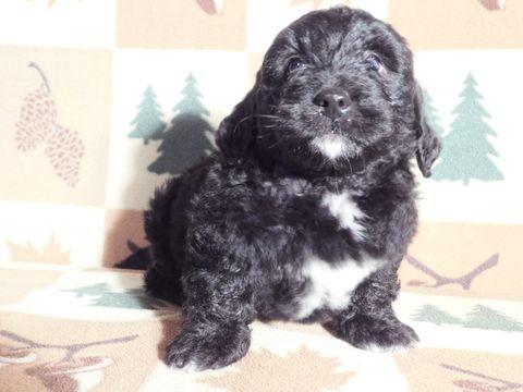 Miniature Bernedoodle Puppy For Sale In Millersburg Oh Adn 58949 On Puppyfinder Com Gender Female Age 6 We Bernedoodle Puppy Puppies For Sale Mini Puppies